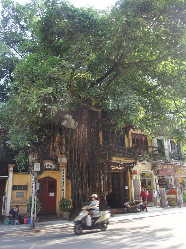 Arbre géant intégré à la rue - Hanoi - Vietnam